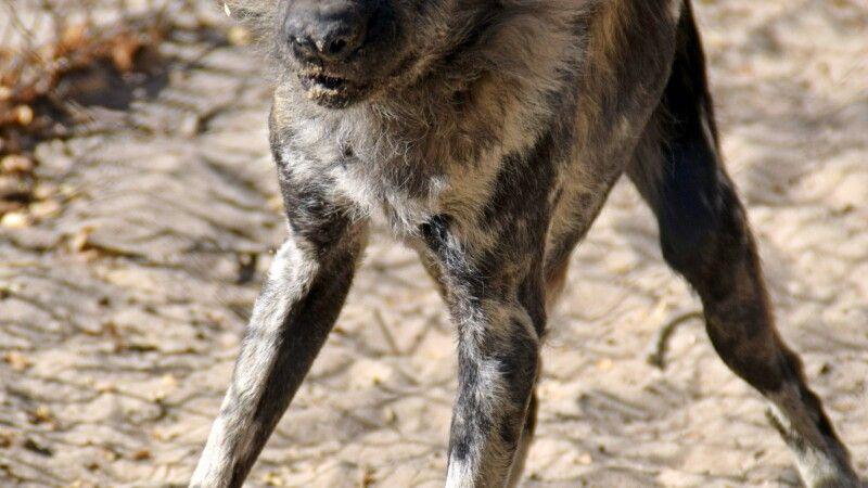Hwange NP: Wildhund im Painted Dog Conservation Centre © Diamir
