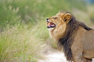 Schwarzmähniger Kalahari-Löwe