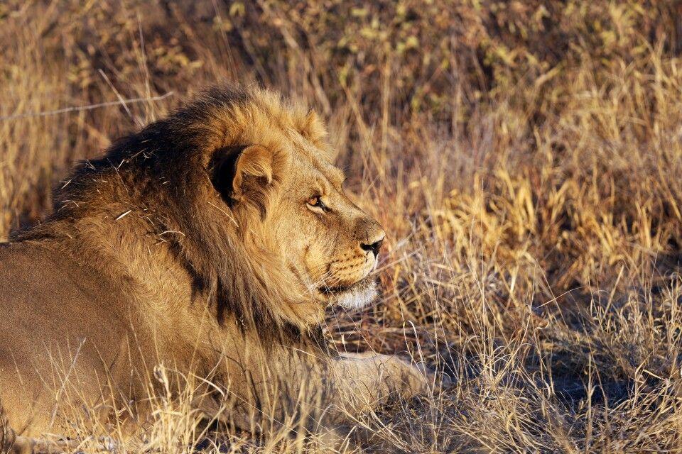 Löwe im Chobe-Nationalpark