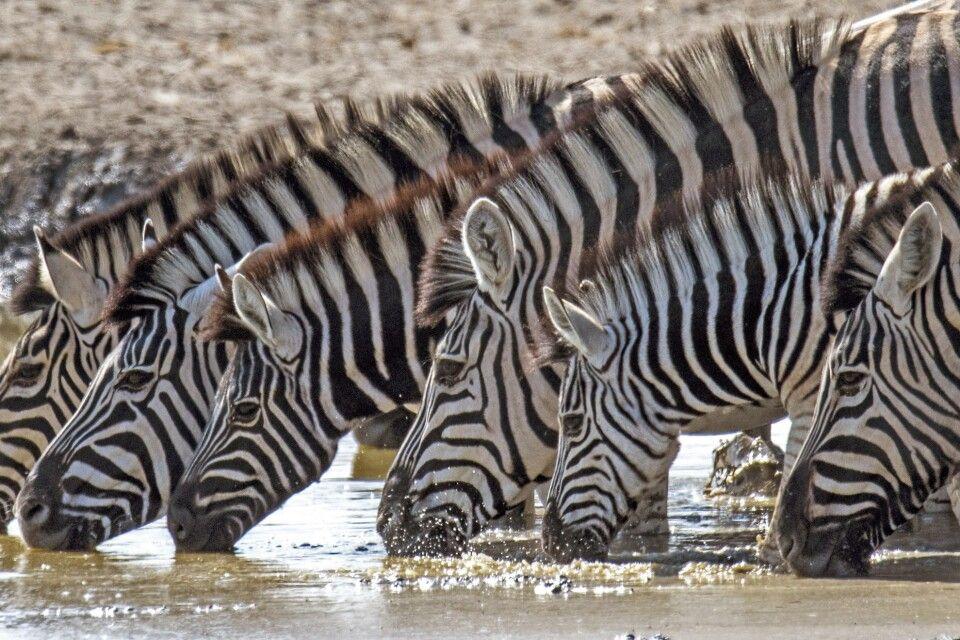 Zebras im Etosha NP