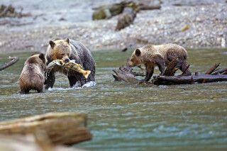 Grizzly-Familie beim Lachsfang am Fluss