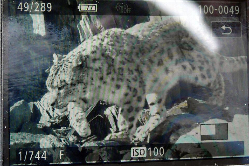 Schneeleopard – Auswertung Fotofalle
