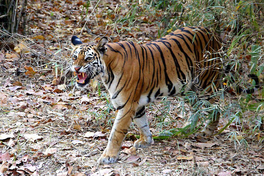 Tigerin Kankati im Bandhavgarh-Nationalpark