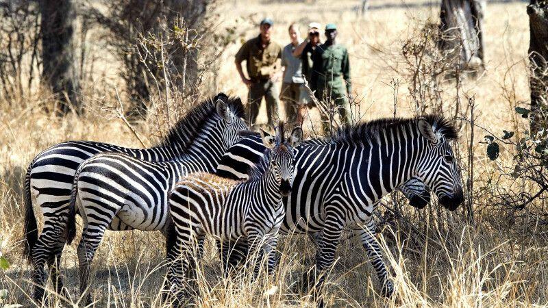 Tierbeobachtung auf einer Fußsafari © Diamir