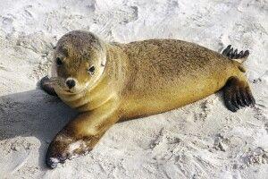 Kangaroo Island Seal Bay Seehund