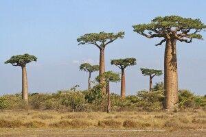Baobab-Allee in Morondava