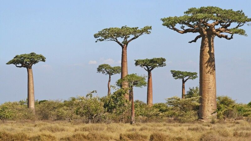Baobab-Allee in Morondava © Diamir
