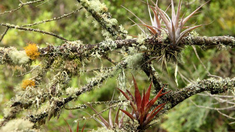 Tropische Andenvegation mit Bartflechten und Bromelien © Diamir