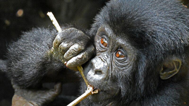 Kauender Gorilla in Uganda © Diamir