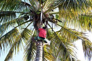 Ernte von grünen Kokosnüssen (Surra) in Inhambane