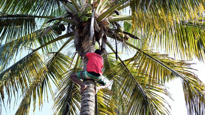 Ernte von grünen Kokosnüssen (Surra) in Inhambane © Diamir