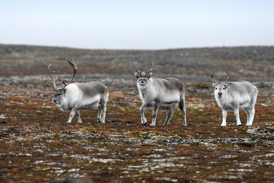 Rentiere in der Tundra
