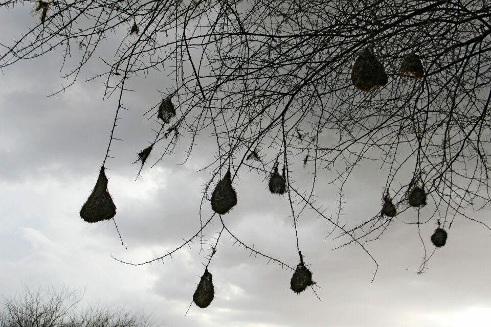 Nester von Webervögeln