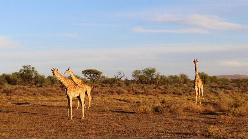 Giraffen im Etosha NP © Diamir