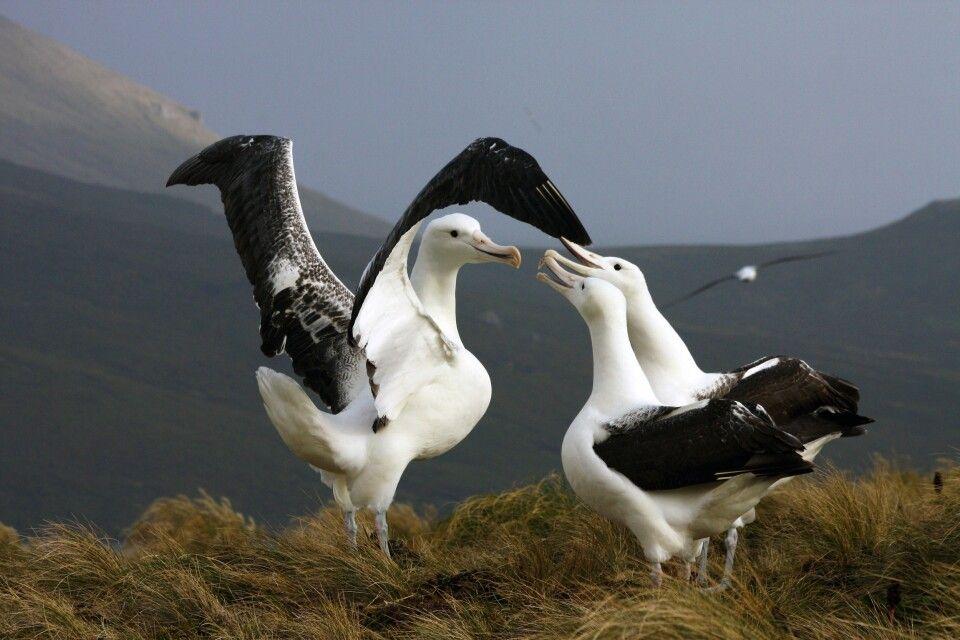 In der Albatros-Kolonie