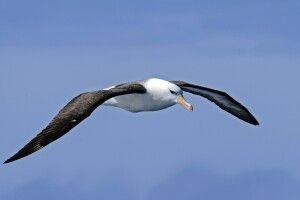 Viele Seevögel - wie der Schwarzbrauenalbatross - folgen dem Schiff durch die Drake Passage