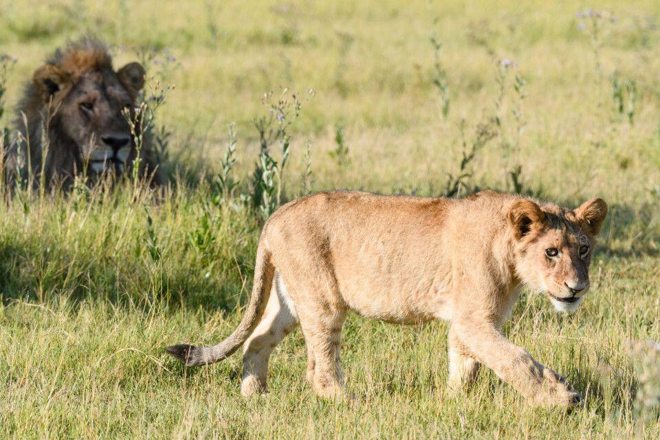 Aus dem Alltag eines Löwenrudels: Der Nachwuchs geht auf Erkundungstour, der Chef nimmt's gelassen.