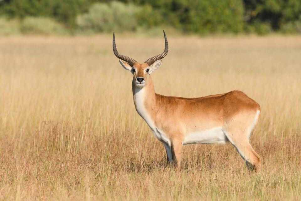 Ans Leben im Delta perfekt angepasst: Lechwe-Antilope
