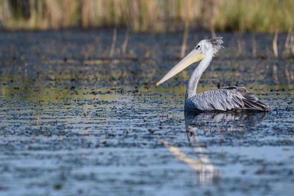 Die Frisur sitzt: Pelikan im Okavangodelta