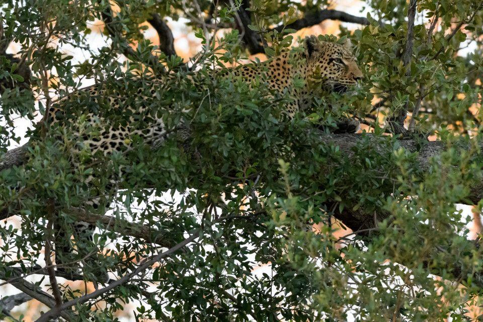 Exklusiver Ruheplatz: Leopardin gut getarnt im Baum