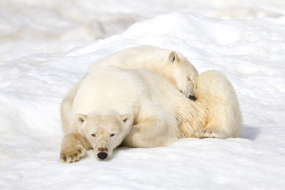 Seltener Anblick – zwei Eisbären ganz kuschelig