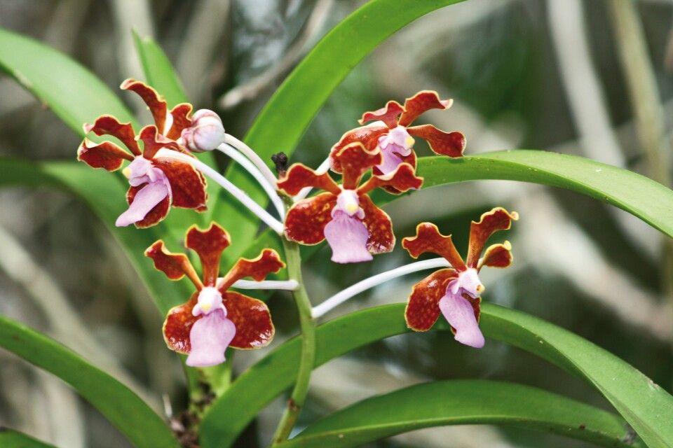 Orchidee auf Komodo