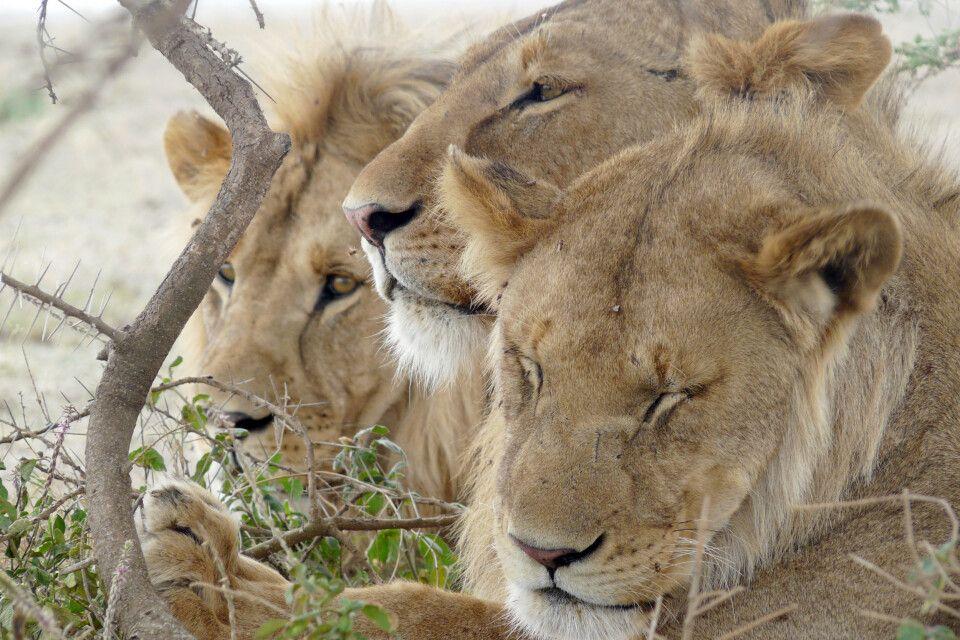 Ruhende Löwen in der Serengeti