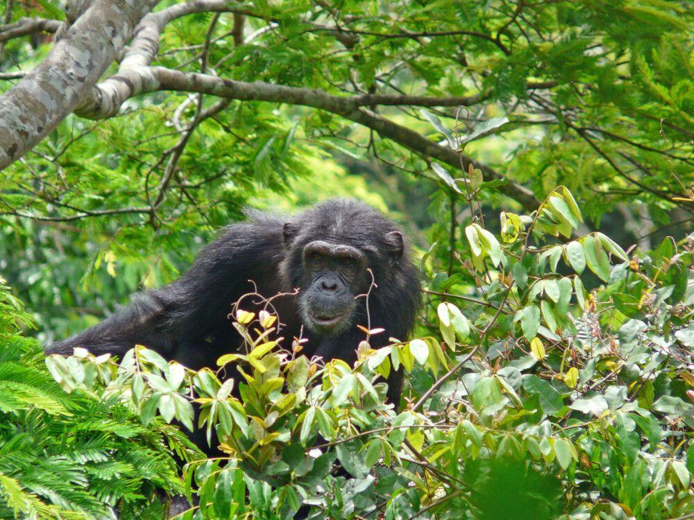 Schimpanse im Geäst
