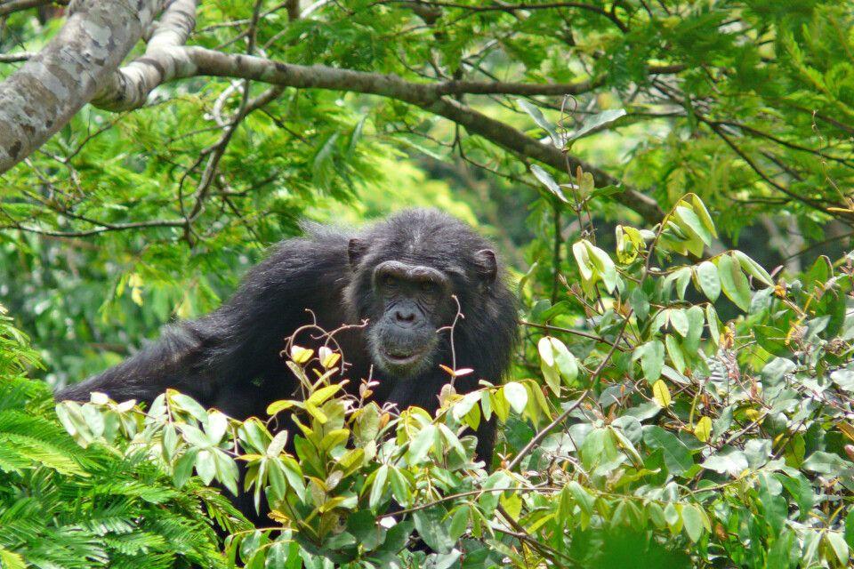 Schimpanse im Baumwipfel