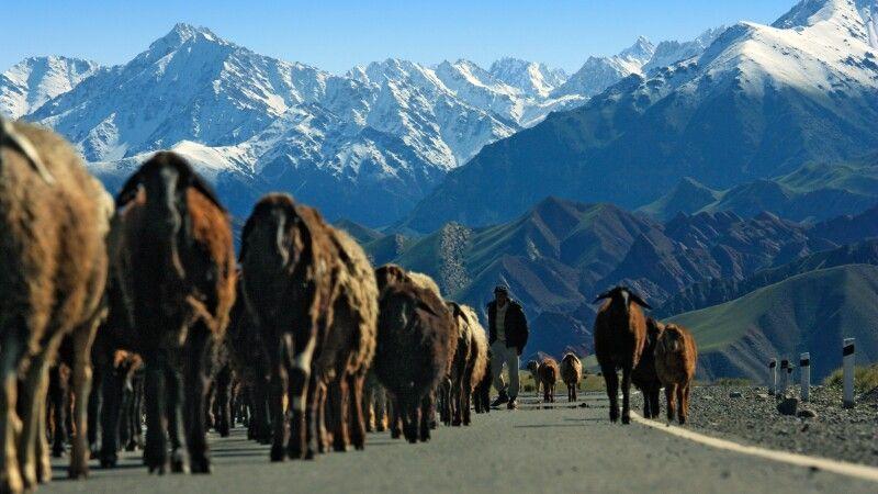 Schafherde in Kirgistan © Diamir