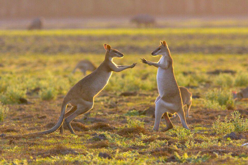 Känguruboxen in den Australischen Outbacks