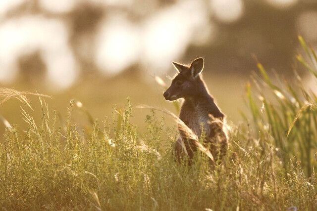 Känguru im Wolgan Valley