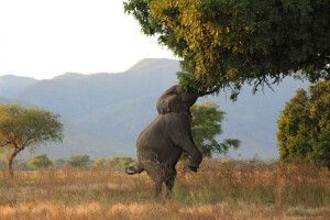 Zweibeiniger Elefanten im Mana-Pools-Nationalpark