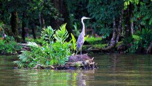 Fischreiher im Nationalpark Tortuguero