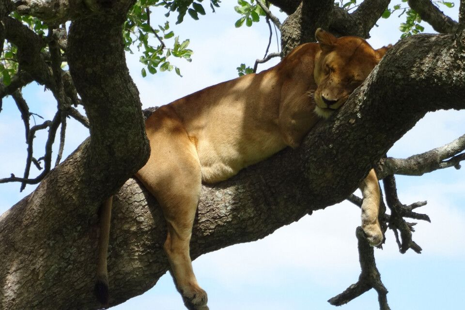 Mittagsruhe im Geäst für ein ausgeglichenes Löwenherz