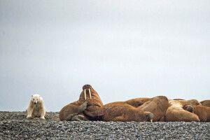 Eisbär und Walrosskolonie auf der Taymyr-Halbinsel