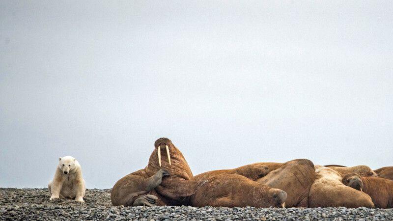 Eisbär und Walrosskolonie auf der Taymyr-Halbinsel © Diamir