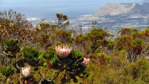 Protea - Südafrikas Nationalblume