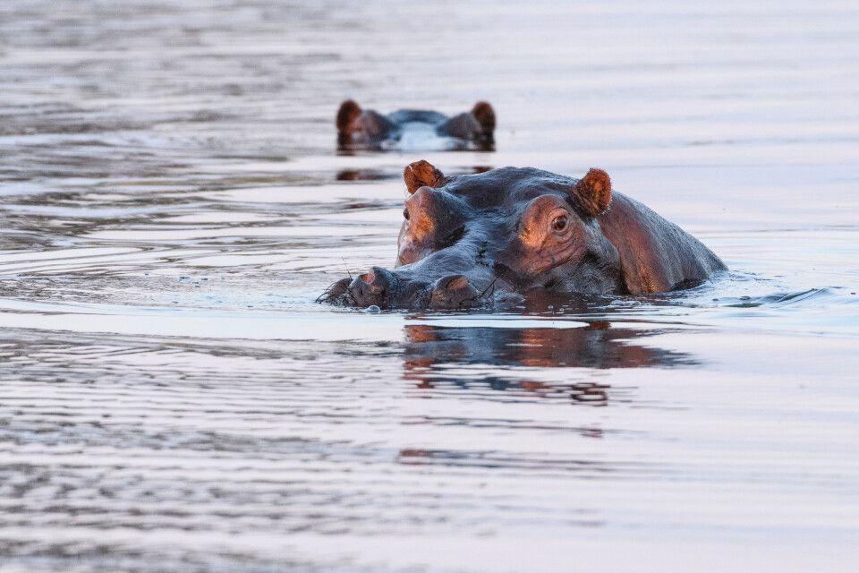 Aufmerksame Beobachter des Geschehens: Flusspferde im Abendlicht, Kwando Concession