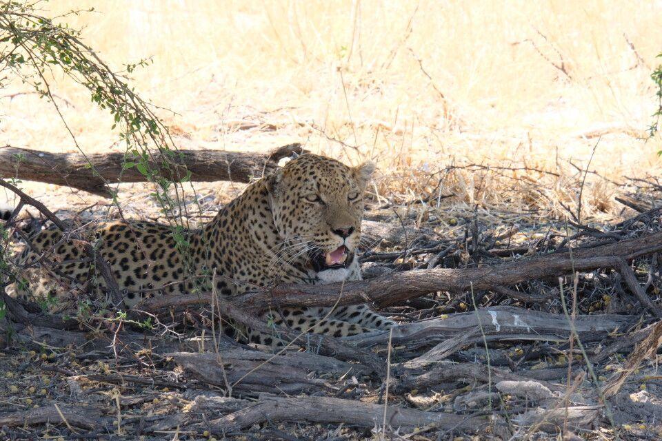 Leopard ganz entspannt