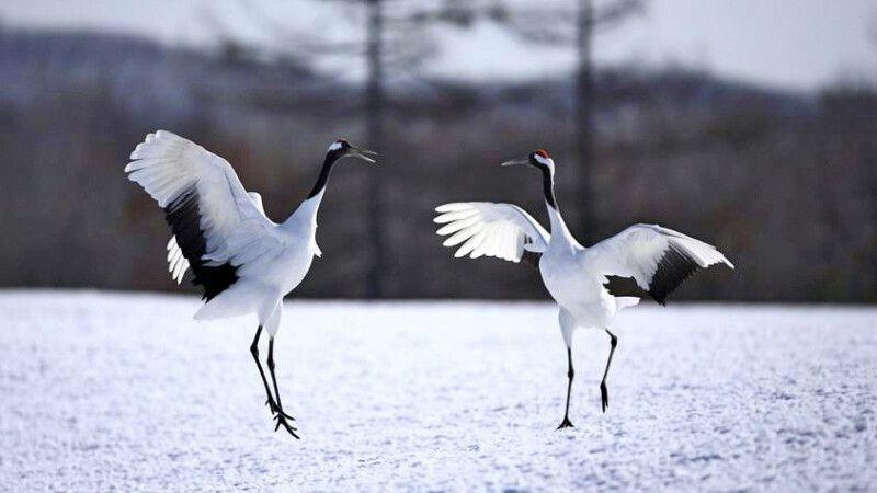 Der anmutige Tanz der Mandschurenkraniche © Diamir