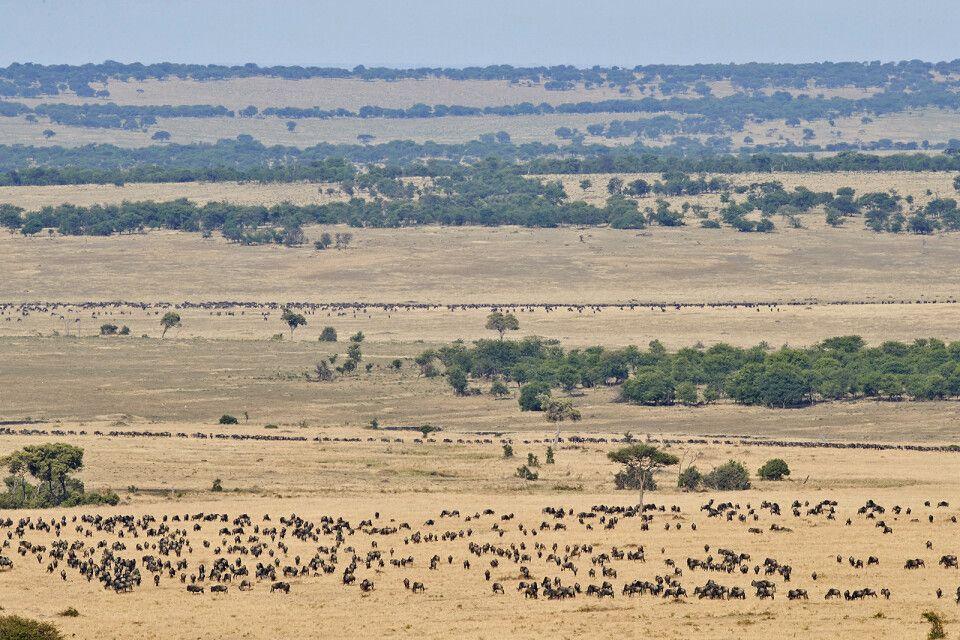 Gnuwanderung in der Serengeti