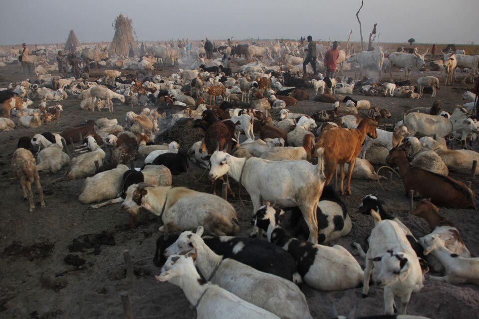 Ziegen als Fleisch- und Milchlieferanten