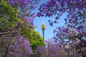 Jacaranda-Blüte in Sydney mit Blick auf den Sydney Tower Eye