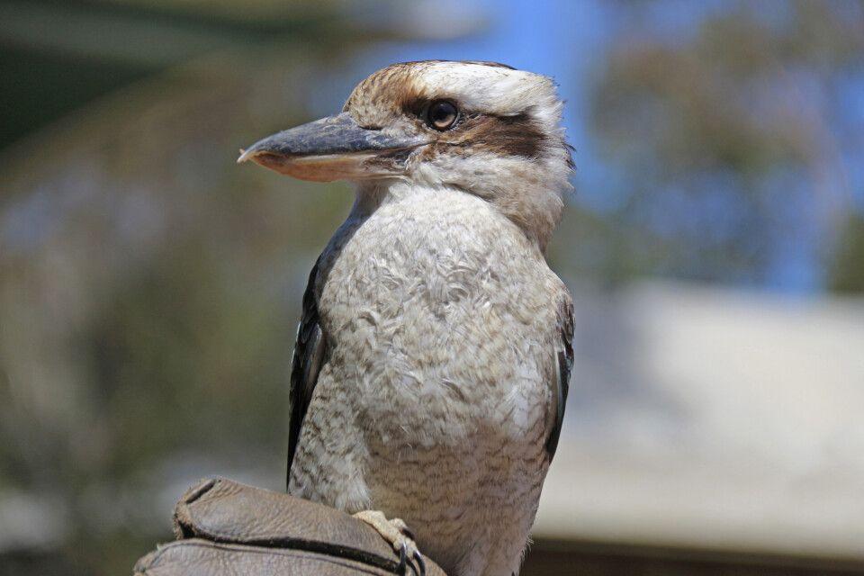 Der heimliche Star unter den australischen Vögeln: ein Kookaburra (Jägerliest) – hier auf Kangaroo Island.
