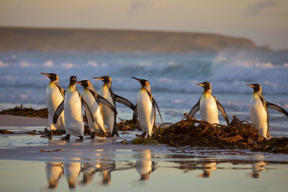 Eine Gruppe Königspinguine am Strand