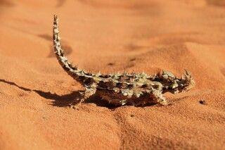 Thorny Devil Australien