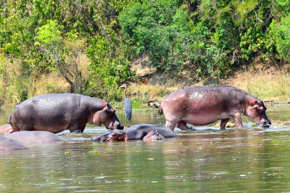 Flusspferde mit einem Goliathreiher