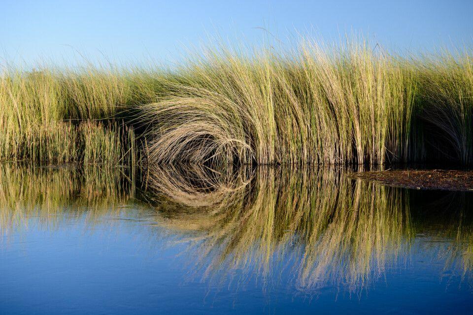 Perfekte Spiegelung: Ried am Rande des Xakanaxa Channel bei der morgendlichen Bootstour.