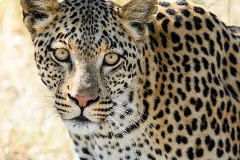 Charakterkopf: Leopardin, Moremi Game Reserve